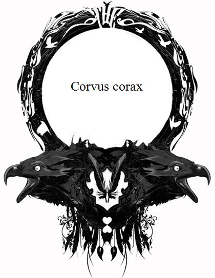 corvus corax imagen